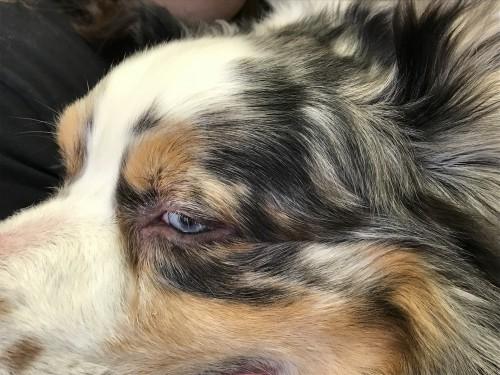 Un cas de syndrome uvéo-dermatologique chez un Berger australien