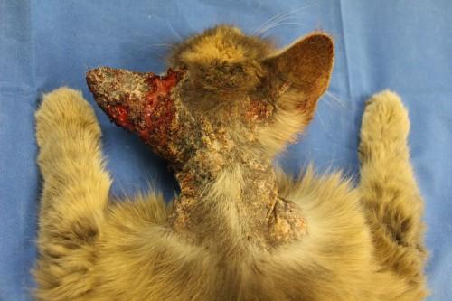 A propos d'un cas de Prurit Cervico-Facial chez une chatte européenne