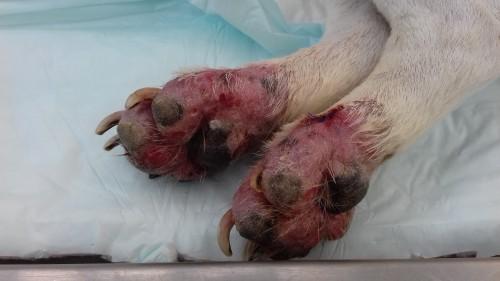 Un cas de dermatose faciale et podale chez un terrier  due a trichophyton mentagrophytes