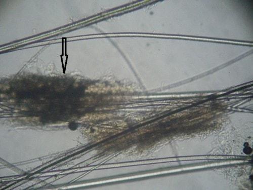 Un cas d'adénite sébacée granulomateuse chez un Coton de Tuléar