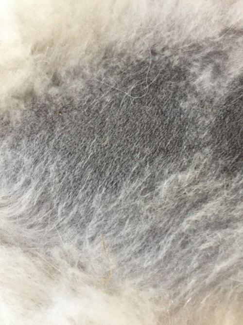 Alopécie post-tonte traitée par micropuncture chez un Chow-chow