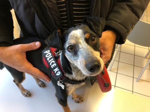 Un cas de vasculopathie familiale du Jack Russel Terrier