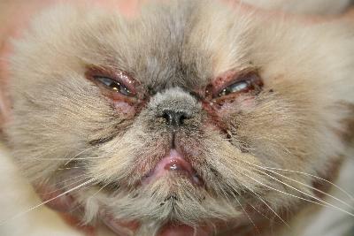 Un cas de dermatite faciale idiopathique du Persan