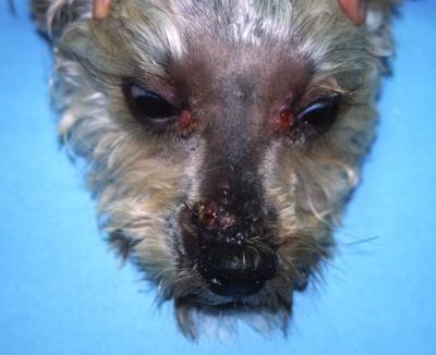 Un cas de furonculose éosinophilique chez un croisé terrier
