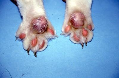 Un cas de pododermatite plasmocytaire féline