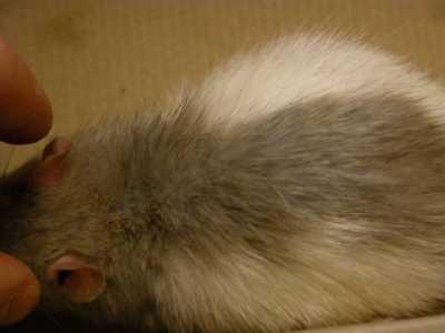 Un cas de pseudogale à Radfordia Ensifera chez un rat