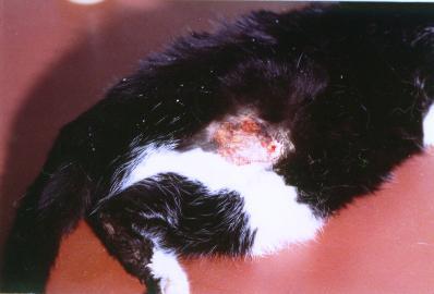 Un cas d'hyperfragilité cutanée chez un chat présentant un lymphome hépatique