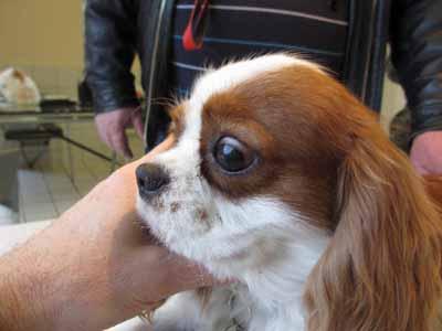 Cas particulier de démodécie canine