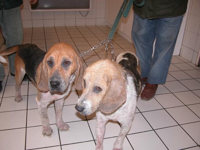 Un cas de démodécie chez 2 chiennes adultes, mère et fille