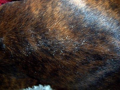 Un cas de dermatite à Cheyletiella chez un chien adulte
