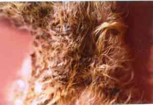 Un cas de dermatite à Malassezia associée à une tumeur pancréatique chez un chat persan