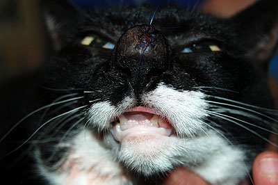 Un cas de dermatite plasmocytaire nasale et podale chez un chat