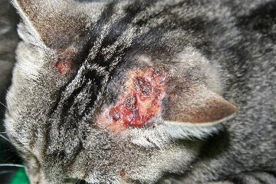 Gestion d'un cas de complexe granulome éosinophilique chez un chat